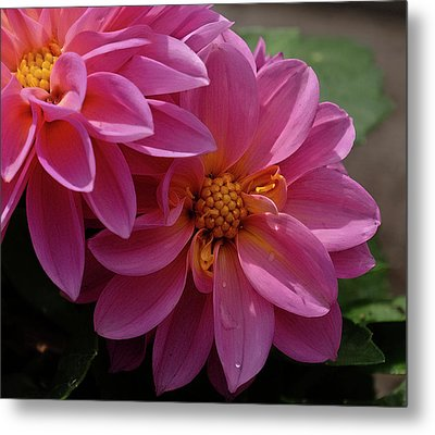 Dahlia Beauty Metal Print