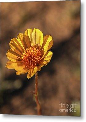 Metal Print featuring the photograph Desert Sunflower by Robert Bales