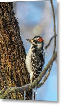 Downy Woodpecker Metal Print by Irwin Seidman