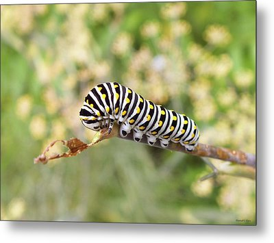 Eastern Black Swallowtail Caterpillar  Metal Print