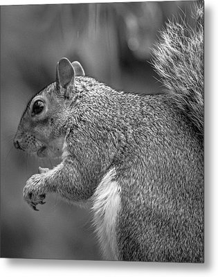 Eastern Grey Squirrel  Metal Print by Martin Newman