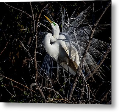 Metal Print featuring the photograph Elegant Egret by Kelly Marquardt
