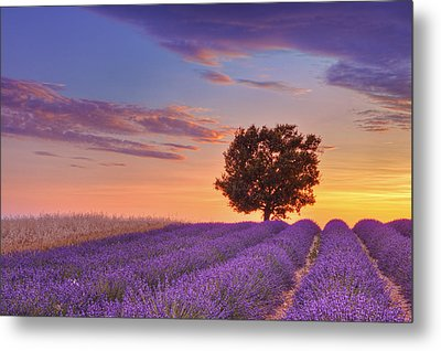 English Lavender Field With Tree At Sunset, Valensole, Valensole Plateau, Alpes-de-haute-provence, Provence-alpes-cote D Azur, Provence, France Metal Print by Martin Ruegner