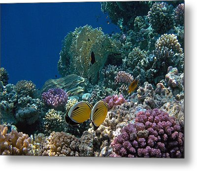 Exquisite Butterflyfish In The Red Sea Metal Print