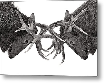 Eye To Eye Metal Print by Jim Cumming