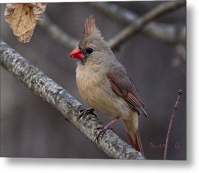 Female Cardinal Metal Print by Diane Giurco