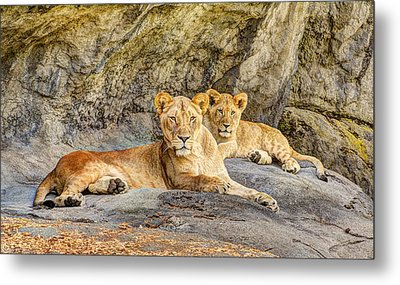 Female Lion And Cub Hdr Metal Print by Marv Vandehey