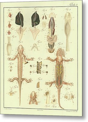 Metal Print featuring the drawing Fire Salamander Anatomy by Christian Leopold Mueller