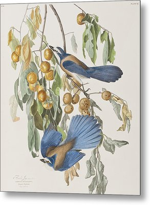 Florida Jay Metal Print by John James Audubon