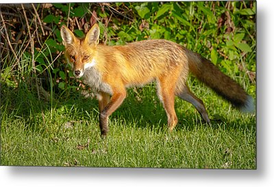 Fox Portrait  Metal Print