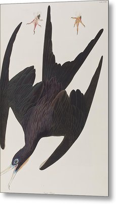 Frigate Pelican Metal Print by John James Audubon