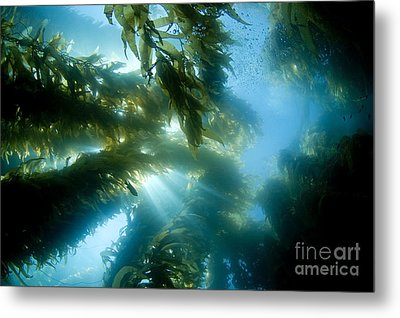 Giant Kelp Forest Metal Print by Dave Fleetham - Printscapes
