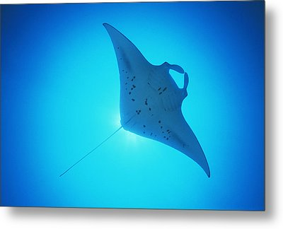 Giant Manta Ray Metal Print by Matthew Oldfield