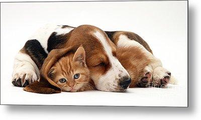 Ginger Kitten And Basset Puppy Metal Print by Jane Burton