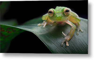 glass frog Amazon forest Metal Print