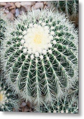 Golden Barrel Cactus I Metal Print by Art Spectrum