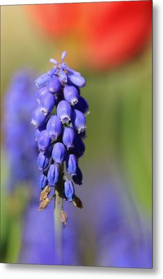 Metal Print featuring the photograph Grape Hyacinth by Chris Berry