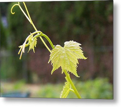 Grapevine Metal Print by Heather L Wright