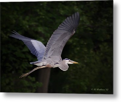 Great Blue Heron In Flight Metal Print by Brian Wallace
