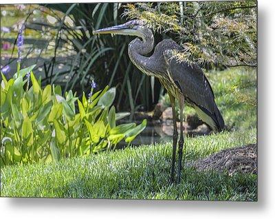 Great Blue Heron Metal Print by Linda Geiger