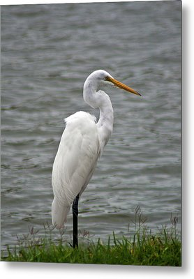 Metal Print featuring the photograph Great Egret by Bill Barber