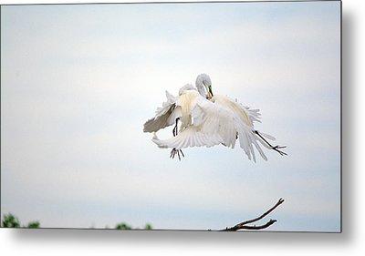 Great Egrets Mating Dispute Series  Metal Print
