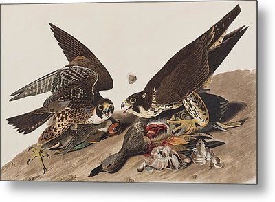 Great-footed Hawk Metal Print by John James Audubon
