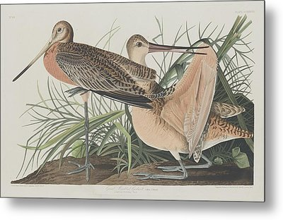 Great Marbled Godwit Metal Print by Rob Dreyer