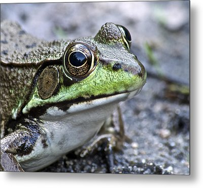 Green Frog Metal Print by Michael Peychich