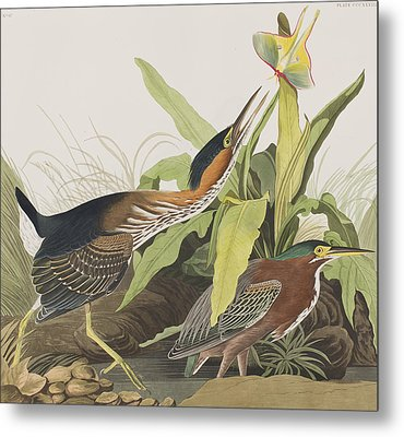 Green Heron Metal Print by John James Audubon