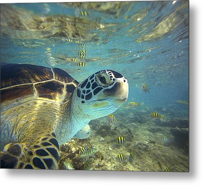 Green Sea Turtle Balicasag Island Metal Print by Tim Fitzharris