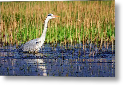 Grey Heron, Ardea Cinerea, In A Pond Metal Print