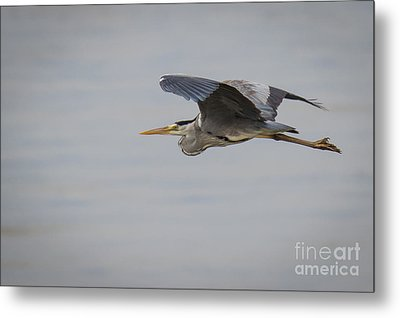 Grey Heron Metal Print by Jivko Nakev