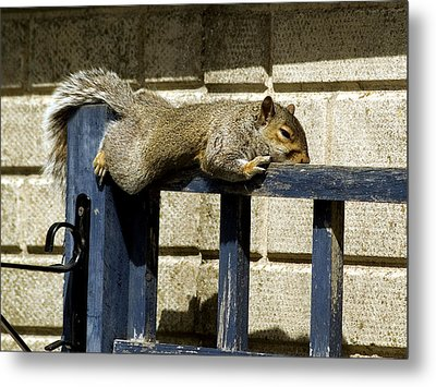 Grey Squirrel Metal Print by Mike Lester