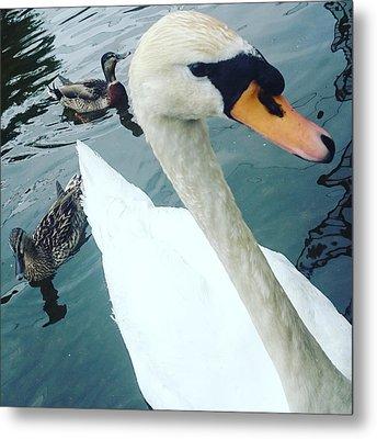 Hakucho Means Swan  Metal Print