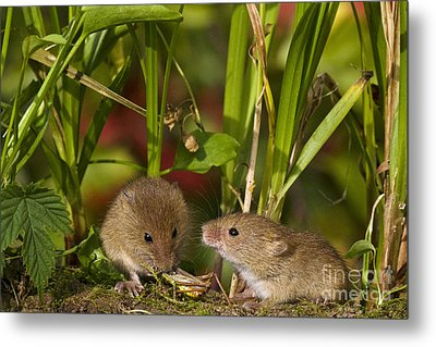 Harvest Mice Eating Grasshopper Metal Print
