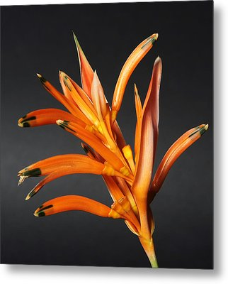 Heliconia Metal Print by Lynn Berreitter