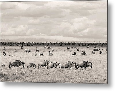 Herd Of Wildebeestes Metal Print