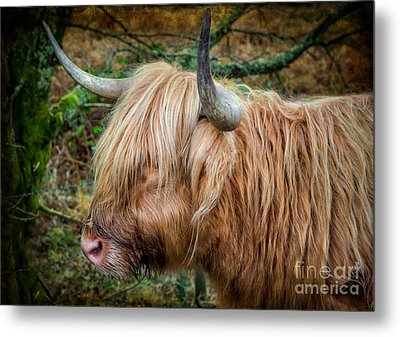 Highland Cow Metal Print by Adrian Evans