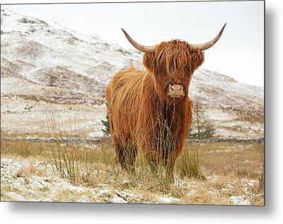 Highland Cow Metal Print by Grant Glendinning