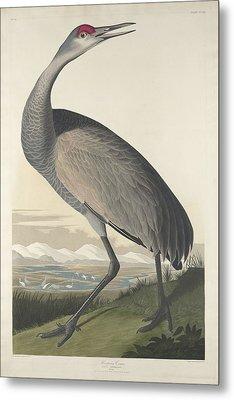 Hooping Crane Metal Print by Rob Dreyer
