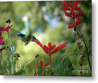 Hummingbird Delight Metal Print by Sue Stefanowicz