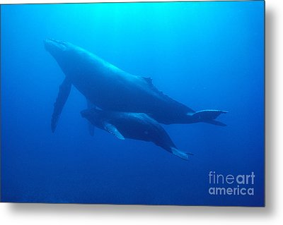 Humpback Mother And Calf Metal Print by Ed Robinson - Printscapes