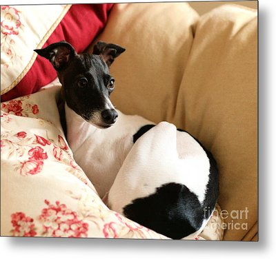 Italian Greyhound Metal Print by Angela Rath