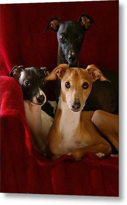 Italian Greyhound Brothers Metal Print by Angela Rath