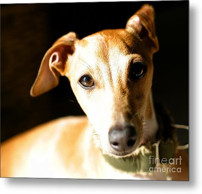 Italian Greyhound Portrait Metal Print