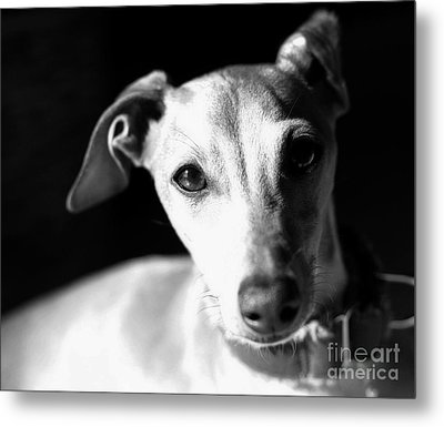 Italian Greyhound Portrait In Black And White Metal Print by Angela Rath