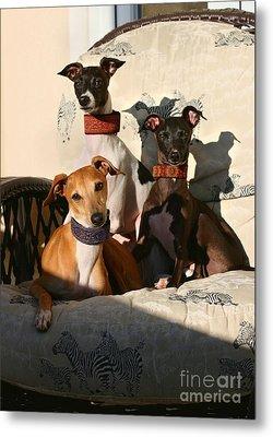Italian Greyhounds Metal Print