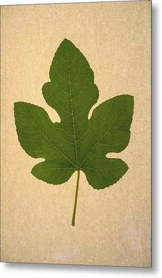 Metal Print featuring the photograph Italian Honey Fig Leaf by Frank Wilson