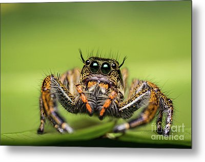 Jumping Spider On Green Leaf. Metal Print by Tosporn Preede